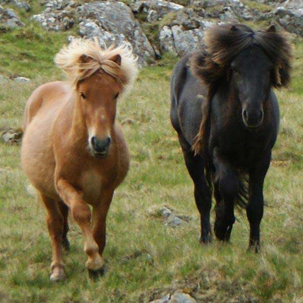 Poney Îles Féroé - © Maria Joensen - Faroe Islands - Transferred from da.wikipedia to Commons by Thomas81 using CommonsHelper., CC BY 3.0